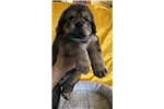 Tibetan mastiff puppy for sale | Puppy at 46 weeks of age for sale