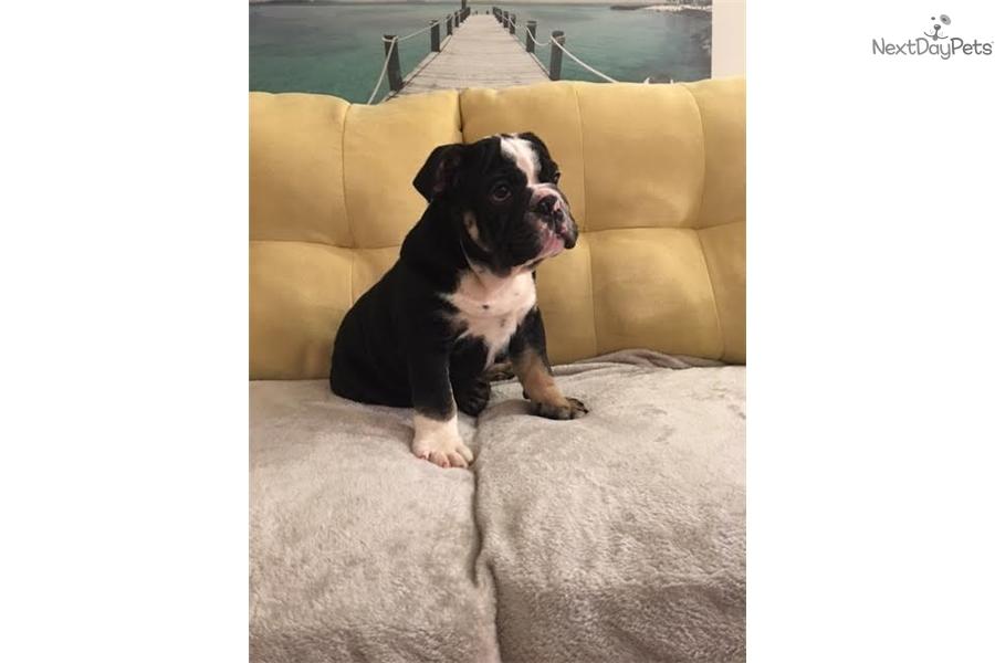 Captain: English Bulldog puppy for sale near Richmond