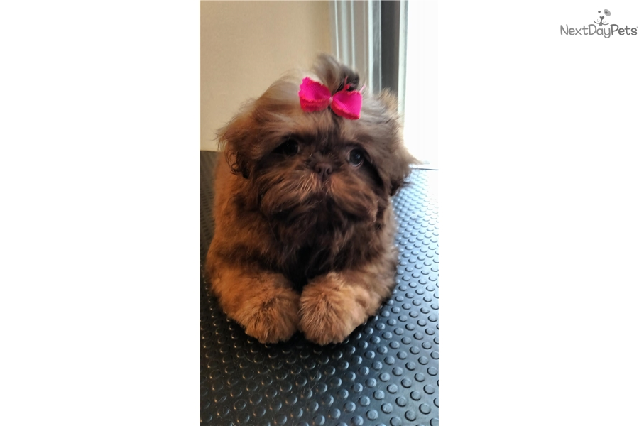 shih tzu mystique mystique shih tzu puppy for sale near eastern shore 8603