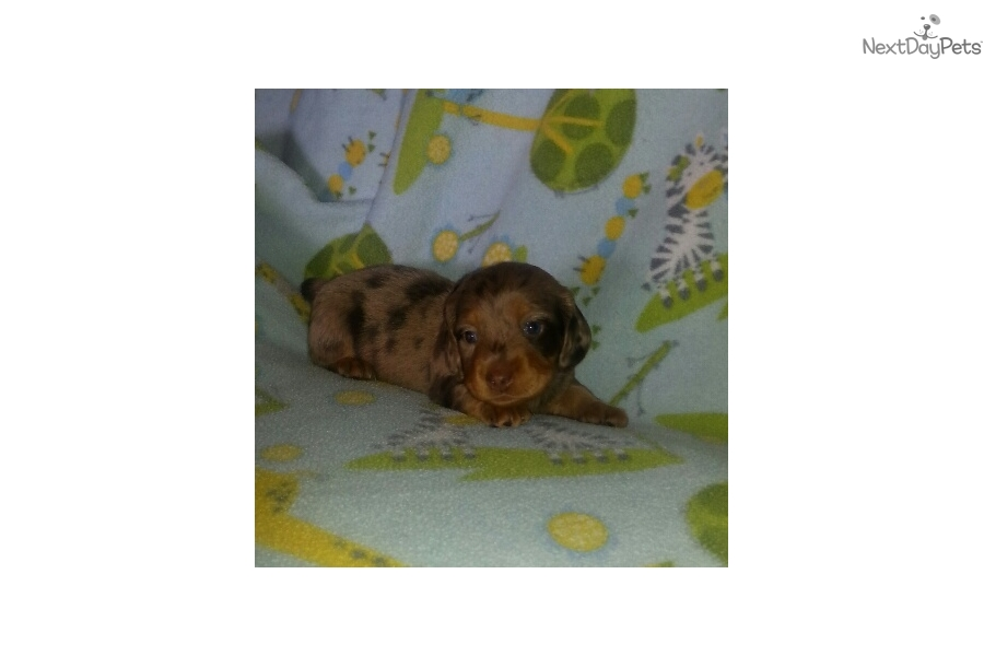 Dachshund Mini Puppy For Sale Near Harrisonburg Virginia