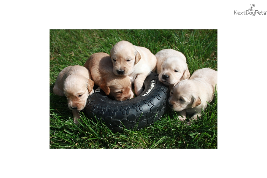 Golden Retriever Puppy For Sale Near Brainerd Minnesota F0b00de7 8b01