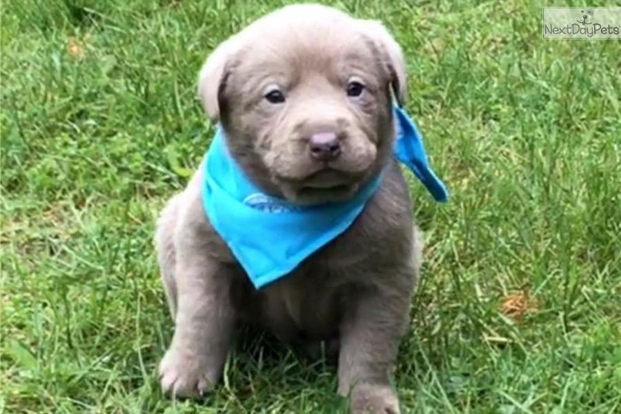 labrador retriever puppies for sale michigan