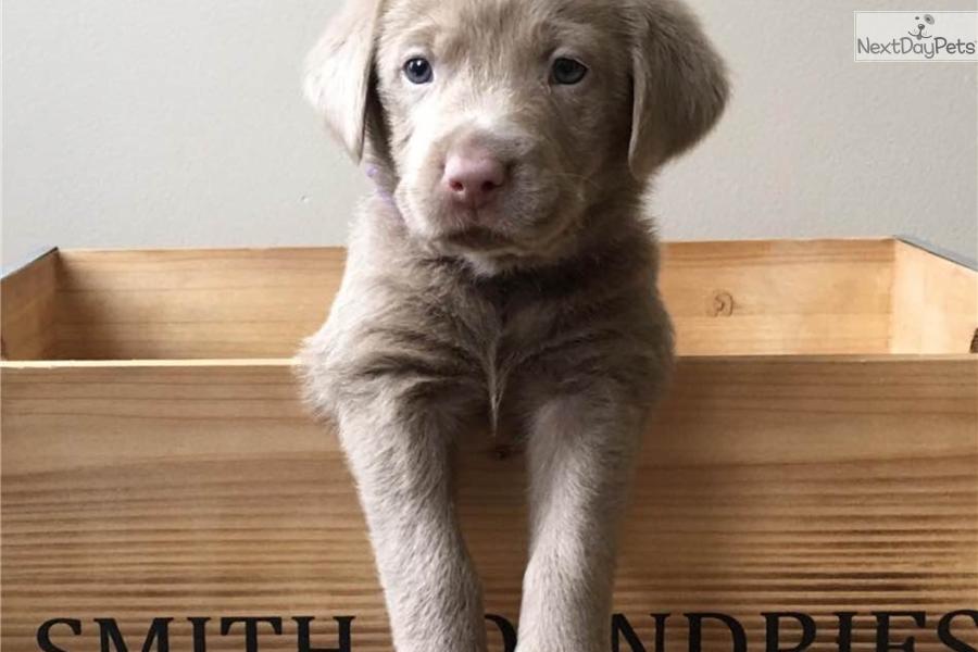 Silver: Labrador Retriever puppy for sale near Saginaw-midland