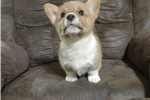 Picture of Chase - AKC