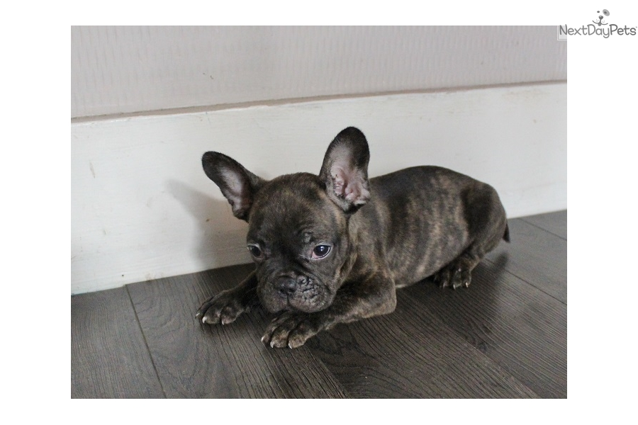 french bulldog pups for sale houston tx french bulldog puppy for sale near houston texas 6130