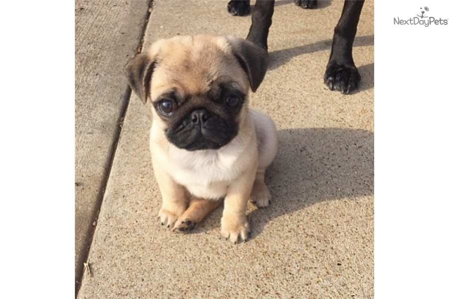Spunk Pug Puppy For Sale Near Houston Texas 55ff6ac3 De21
