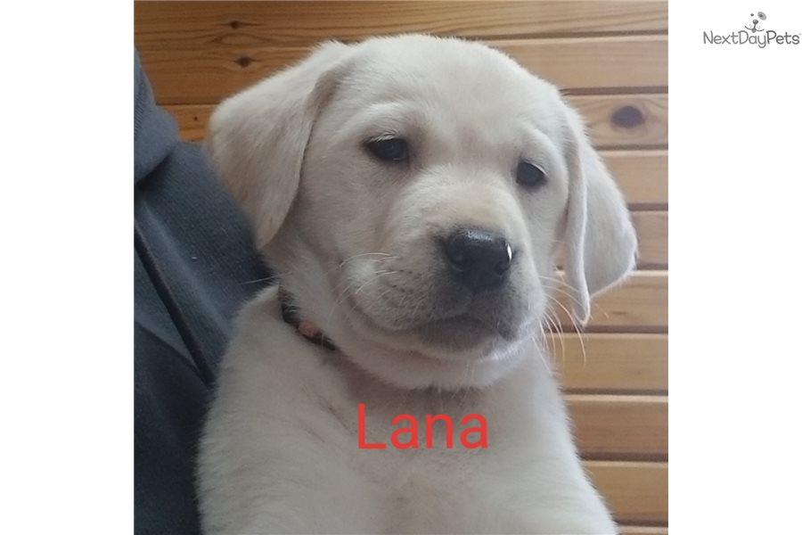 Lana Labrador Retriever Puppy For Sale Near Southeast Missouri