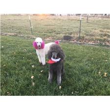 View full profile for Nampastandardpoodles