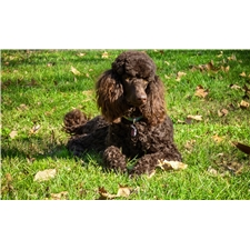 View full profile for Dry Creek Poodles