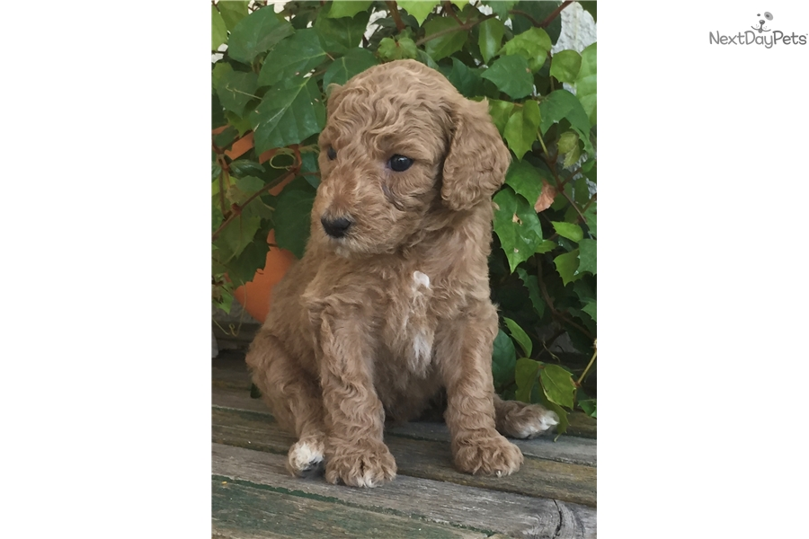 Green Collar: Poodle, Standard puppy for sale near San Francisco Bay