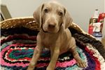Picture of WEIMARANER PUPPY FOR SALE (MALE # 3)