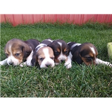 View full profile for East Idaho Beagles