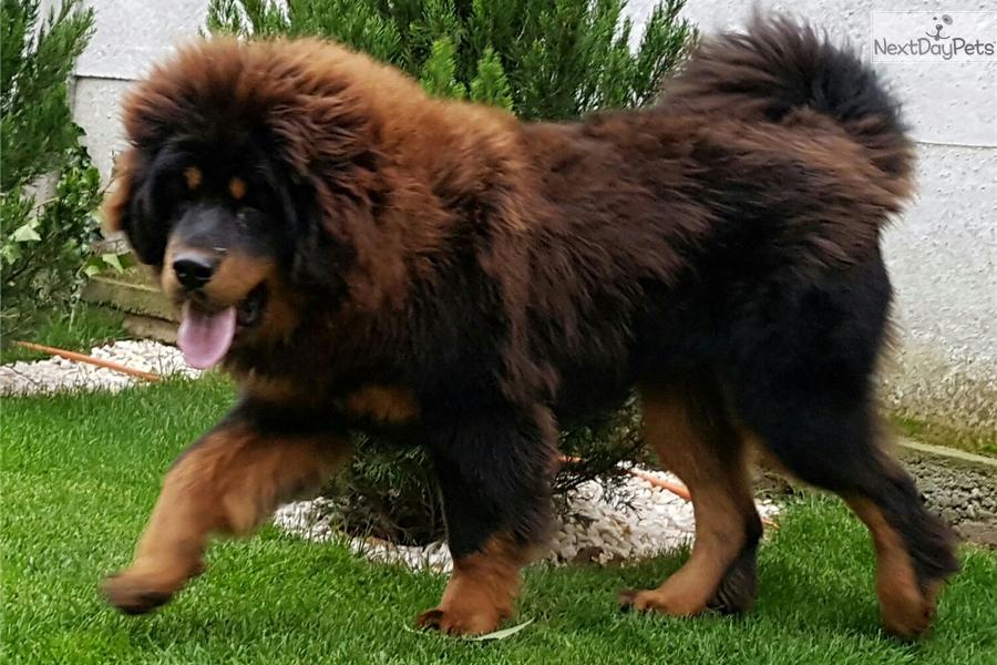 Aria Hankokuzo: Tibetan Mastiff puppy for sale near Budapest
