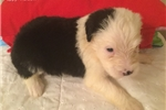 Olde English Sheepdog for sale