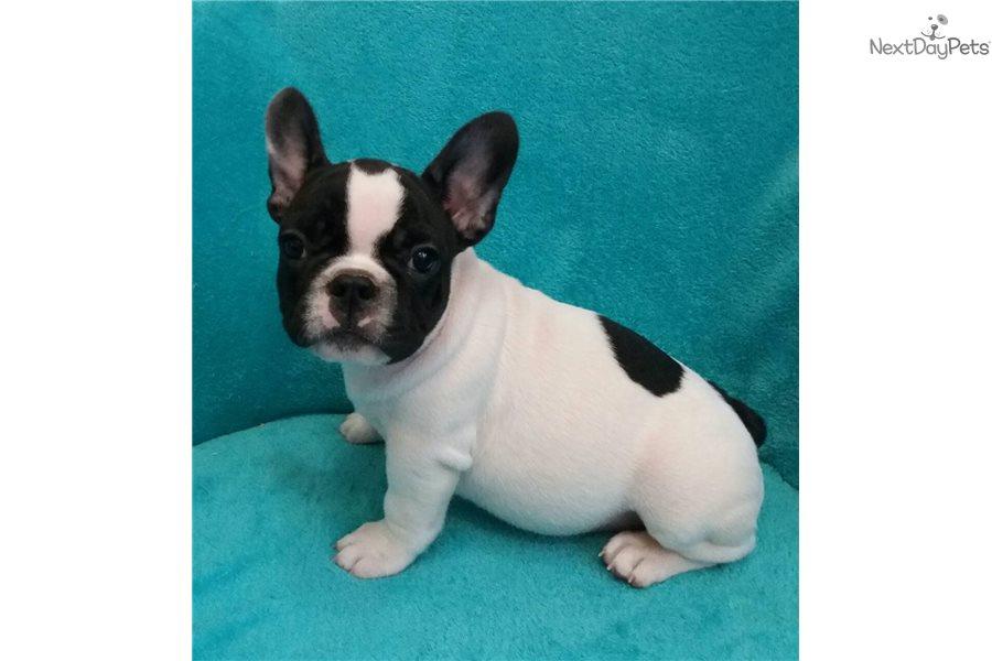 French Bulldog puppy for sale near New York City, New York ...