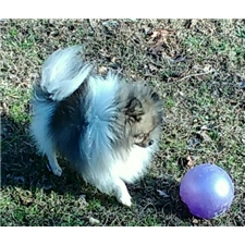 View full profile for Hutchaven Pomeranians