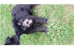 Picture of Gorgeous AKC Pumi Puppies