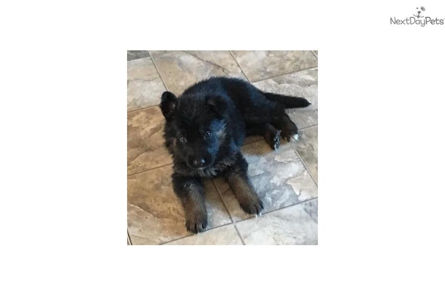 Theon Von Haven German Shepherd Puppy For Sale Near Maine