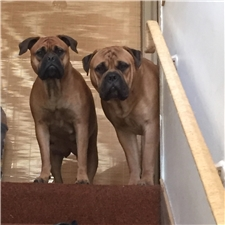 View full profile for Lisa's Bullmastiffs