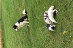 Picture of Farm raised border collie