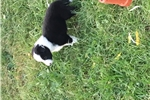 Picture of a Bearded Collie Puppy