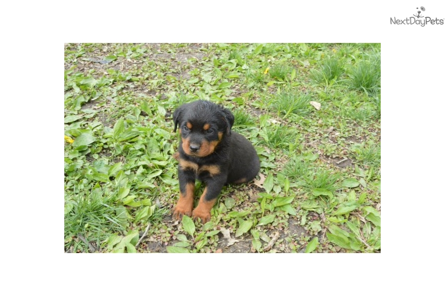 Male Pick Rottweiler Puppy For Sale Near Kansas City Missouri
