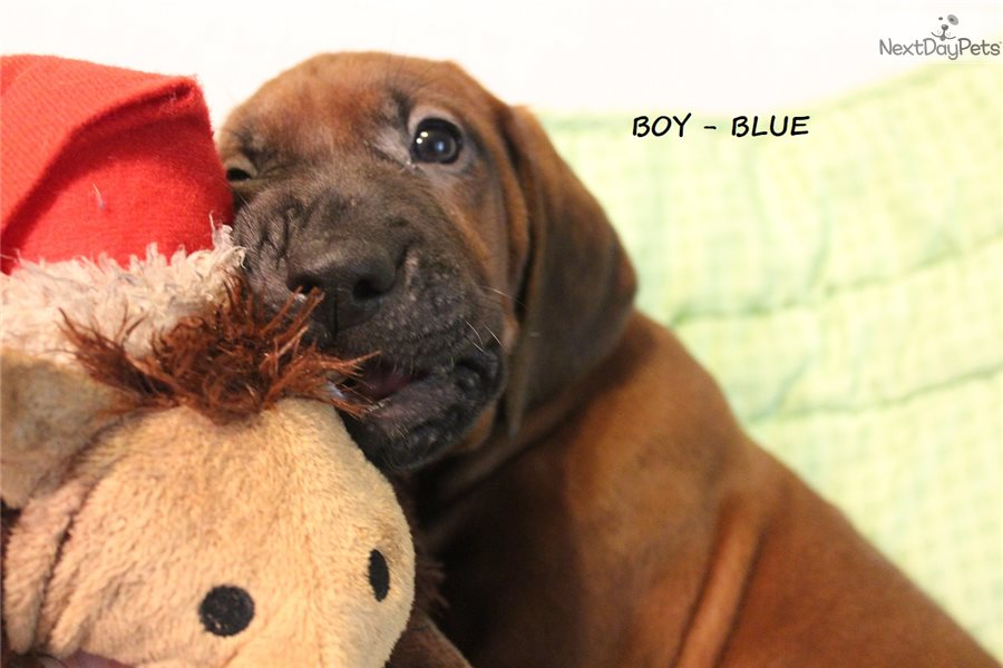 Redbone Coonhound Puppy For Sale Near Ocala Florida Eec0cbd1 4b61