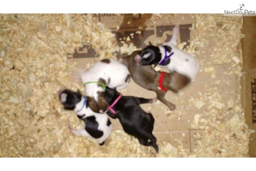 Blue Mountain Feist Puppy For Sale Near Owensboro Kentucky