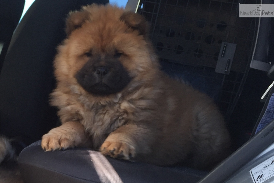 Toby: Chow Chow puppy for sale near Amarillo, Texas