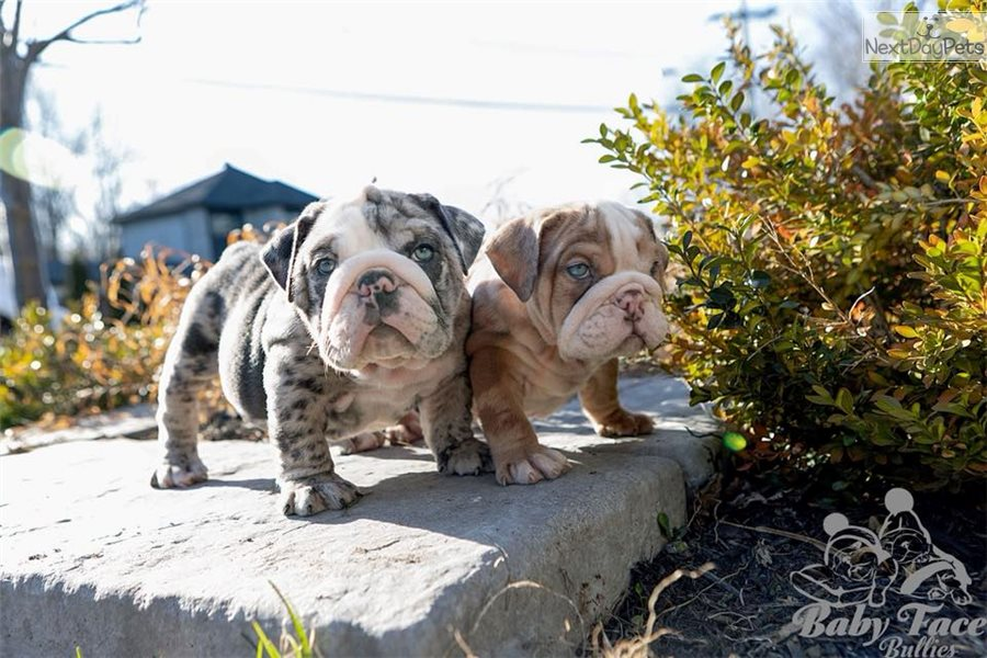 Bulldogs: English Bulldog puppy for sale near Montreal