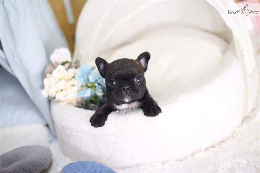 Spike French Bulldog Puppy For Sale Near Montreal Quebec