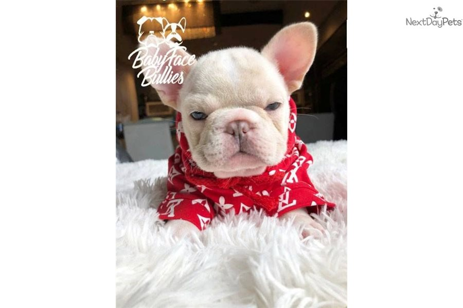 Karma French Bulldog Puppy For Sale Near Montreal Quebec