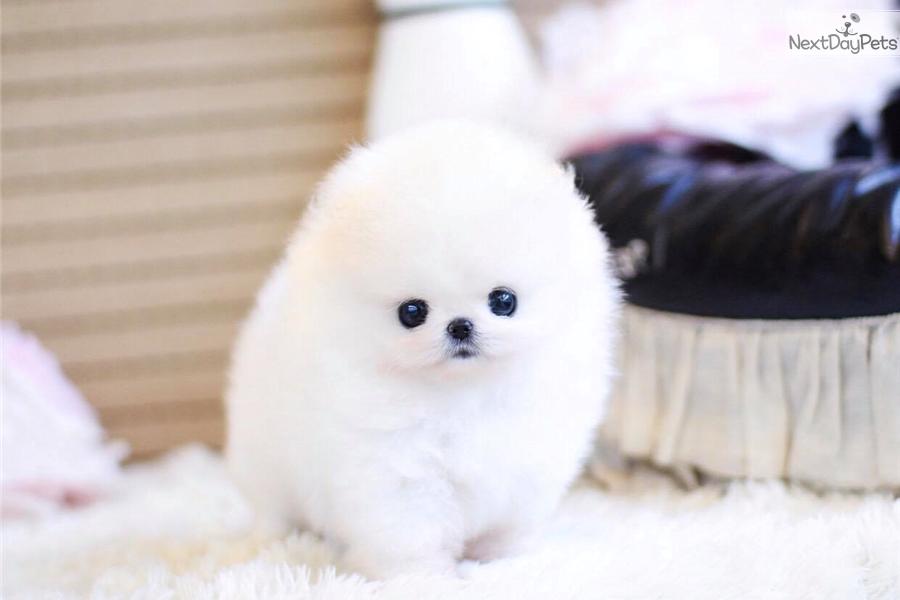 Pandora : Pomeranian puppy for sale near Montreal, Quebec | 081b2031