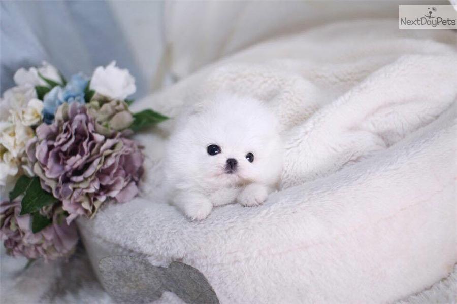 Luna Pomeranian Puppy For Sale Near Montreal Quebec