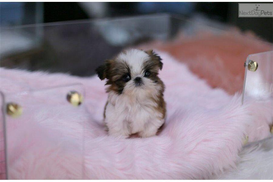 Fabulous Mcqueen: Shih Tzu puppy for sale near Montreal, Quebec | 1e0d328f-0641 #KO25