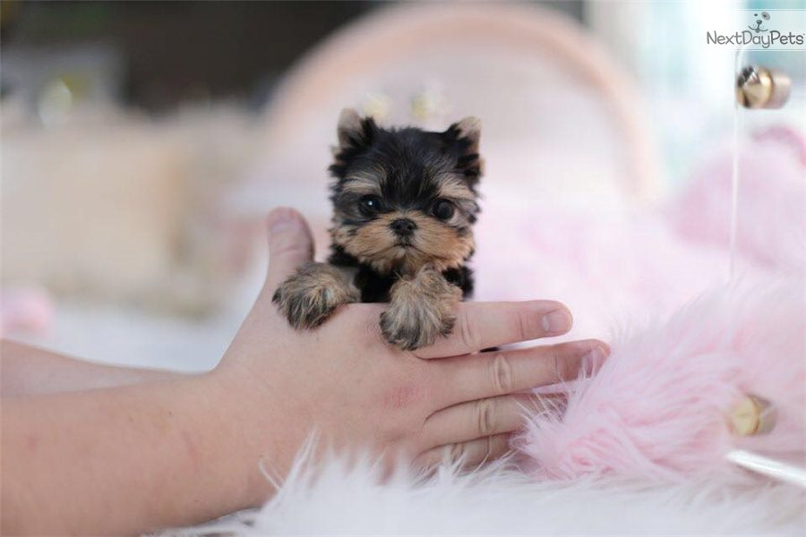 Ruby: Yorkshire Terrier - Yorkie puppy for sale near