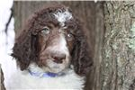 Picture of Dottie - AKC