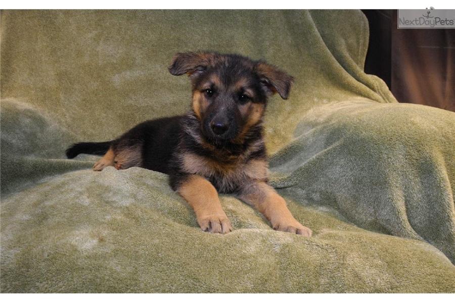 Grace English Shepherd Puppy For Sale Near Little Rock Arkansas