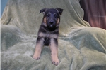 Picture of Gage, AKC