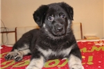 Picture of Magnificent female puppy of East European Shepherd