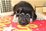 Picture of Gorgeous male puppy of East European Shepherd