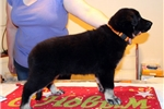 Picture of Beautiful female puppy of East European Shepherd