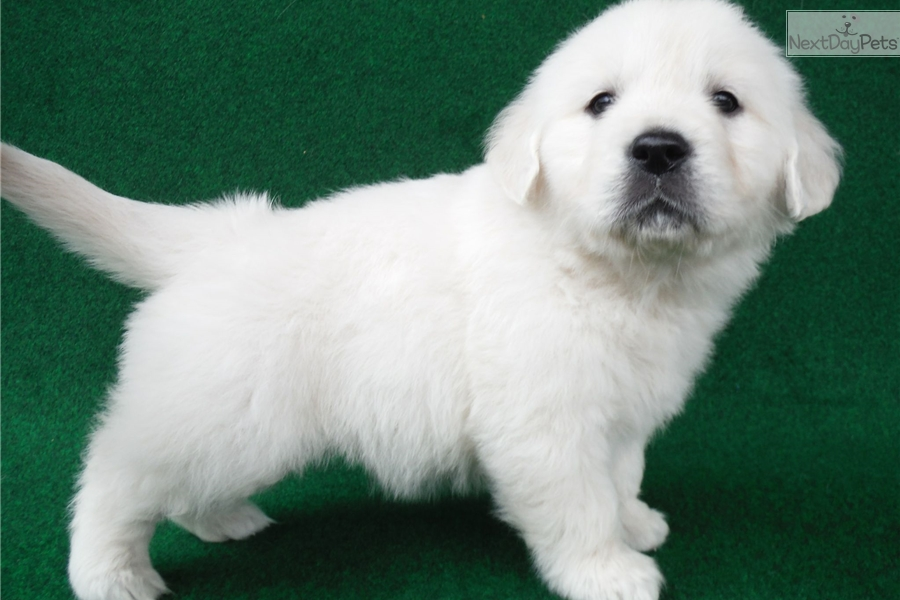 Ginny English Golden Retriever Puppy For Sale Near Detroit Metro