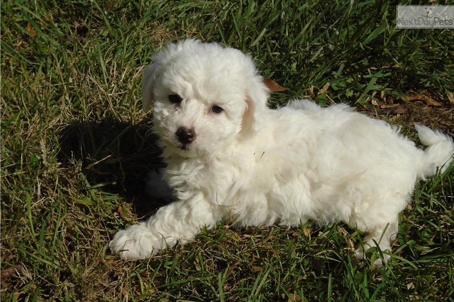 Ramsey: Bichon Frise puppy for sale near Charlottesville