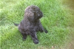 Picture of a Bouvier Des Flandres Puppy