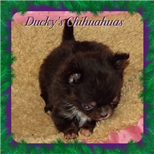 View full profile for Ducky's Chihuahuas