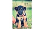 German Shepherd for sale