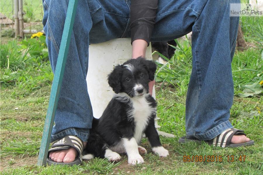 Teddy Bordoodle Puppy For Sale Near Williamsport