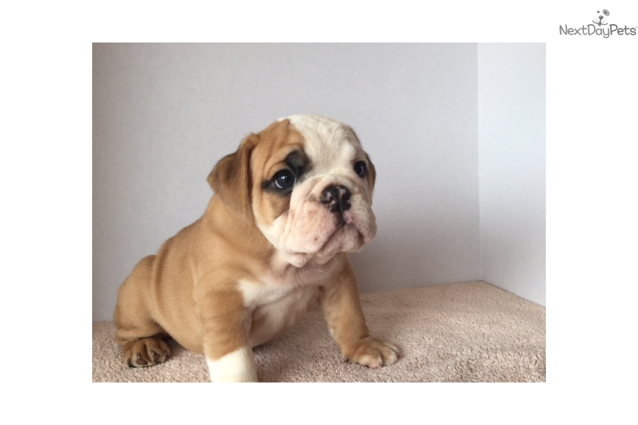 Falcon Bulldog Puppy For Sale Near Minneapolis St Paul Minnesota