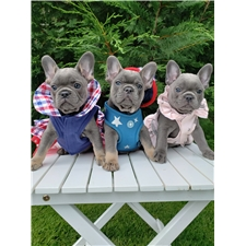 View full profile for Luxurious French Bulldogs